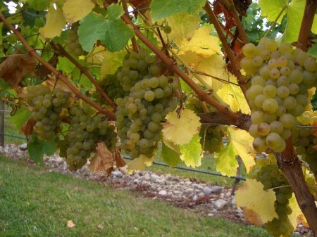 Sauvignon Blanc bunches at harvest -_Milcrest_Estate.JPG