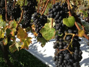 Milcrest Dolcetto Bunches 2013 vintage.JPG